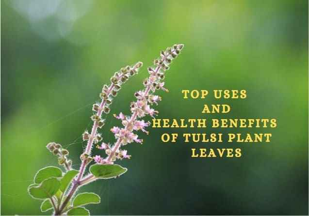 Benefits of Tulsi Plant Leaves